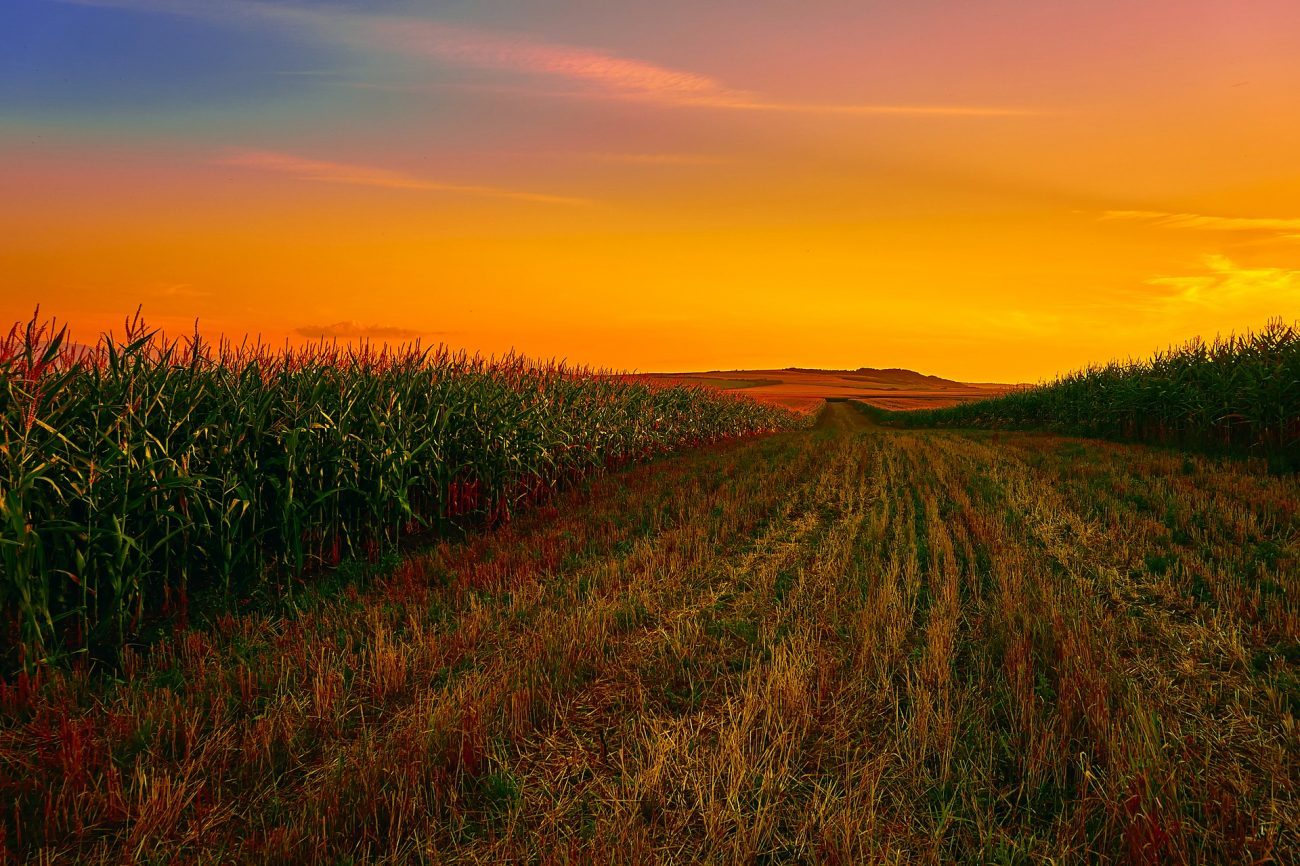 Orange hued sunset scene of a cornfield.